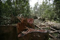 Indonesia'sdeforestation is feeding the world with wood, pulp and palm oil. Such destruction has tragic consequences for both developing and industrial nations.