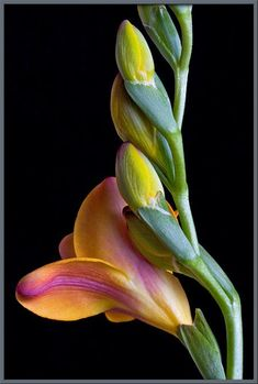 """I love the """"composition"""" of this flower stem. The colors are beautiful and the perspective is interesting. The dark background really makes the flower stem stand out."""