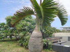 http://jungletropicale.com/2013/04/hyophorbe-lagenicaulis/