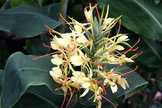 Ingwer Blüte, Zierpflanze, Pflanzenmarkt, Foto Birgit Puck