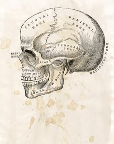 Skull Diagram - FREE SHIPPING 8x10 Bone Head Tea Stain Texture Science Medical Biology Poster Print. $35.00, via Etsy. randomawesomesauce