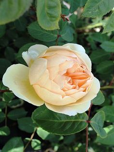 'Jude The Obscure' | Shrub. English Rose Collection. Bred by David C. H. Austin (United Kingdom, 1989)