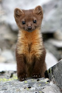Baby Pine Marten.  These adorable critters are native to the Uintah mountains in Utah.  They are VERY shy and so hard to spot.  My husband got to see one in person once, while camping.