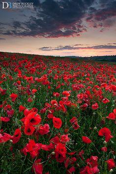 Poppy Field Sunset, Pembrokeshire, Wales
