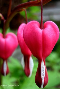 My stepmom loves Bleeding Hearts - she has several planted in her shade garden at our family farm. Bleeding Heart Flower, Bleeding Hearts, Most Beautiful Flowers, Pretty Flowers, Exotic Flowers, Poppy Flowers, Unique Flowers, Exotic Plants, Beautiful Gardens