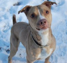 Noah is a very friendly and energetic dog. He loves to go outside and run around to his hearts content. Noah does pull on the leash a little...