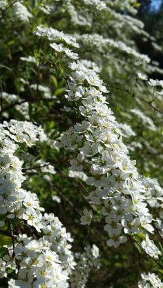 Blooming Spiraea'Grefsheim'