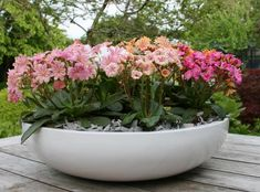 Bitterroot Lewisia cotyledon Elise Mix from Growing Colors Flower Images, Flower Photos, Small Indoor Plants, Share Pictures, Animated Gifs, Garden Privacy, Plant Catalogs, Outdoor Planters, Types Of Plants
