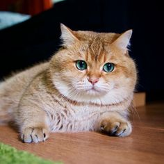 Hosico the Cat is One of the Most Beautiful Cats Youll Ever See (01.21.17)