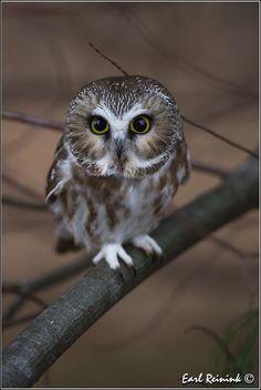 Saw-whet Owl | by Earl Reinink