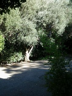 Front driveway olive tree
