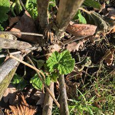 Auch die Stockrosen bahnen sich schon ihren Weg und ziehen ihr Frühlingskleid an💚