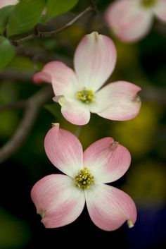 Exquisite white or pink blooms seem to perch on layers of branches in midspring. Deep red fall color too. Many varieties available. Pink Dogwood, Dogwood Trees, Dogwood Flowers, Spring Flowering Trees, Flowering Shrubs, Sugar Flowers, Pink Flowers, Dogwood Flower Tattoos, Blossom Garden