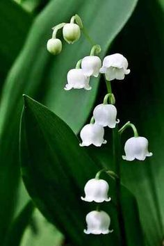 Lily of the Valley is a fragrant blooming perennial. Most Beautiful Flowers, Love Flowers, Spring Flowers, Beautiful Birds, Beautiful Dream, Beautiful Eyes, Beautiful Gardens, Hydrangea Potted, Valley Flowers