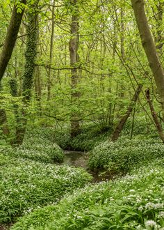 wanderthewood: Wild garlic in Stoneycliffe Wood Nature Reserve, Yorkshire, England by Aidan Mincher on Flickr
