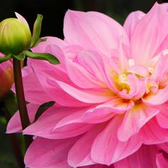 Pink Peony | Laura Maxwell Photographic Imagery