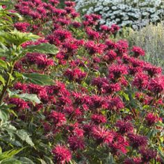 Monarda 'Gardenview Scarlet' - 3pc    Botanical: Monarda    Zone: Winter hardy in zones 4 to 9    Type: Perennial    Exposure: Full to Part sun    Height: 2 to 3 feet    Special: Great butterfly attractor!