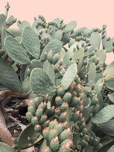 Giant cactus about to bloom Glass Cactus, Cactus Art, Succulent Bonsai, Cacti And Succulents, Painted Rock Cactus, Desert Photography, Landscape Photography, Minimal Photo, Landscape Elements