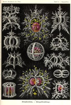 Ernst Haeckel, Kunstformen der Natur (1904), Tafel 71