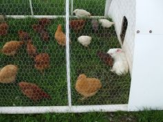 Raising Chickens and Rabbits together. Co housing.
