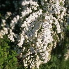 #jaro #kvetina #bila #spring #flower #white