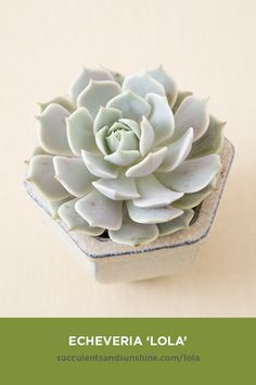 'Lola' is the favorite succulent of many people! Echeveria 'Lola' is a favorite succulent for a lot of people! She's a really pretty light purple color and has a perfectly shaped rosette. Displays beautiful yellow, bell-shaped flowers in the Spring. Succulent Names, Propagating Succulents, Succulent Gardening, Succulent Terrarium, Planting Succulents, Cacti Garden, Indoor Gardening, Indoor Succulents, Indoor Cactus