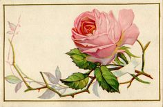 Vintage Image - Old Pink Rose with Thorns - The Graphics Fairy