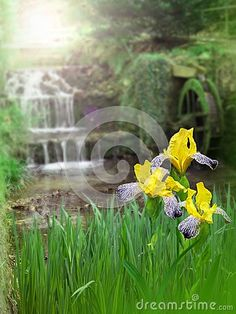 Yellow iris flowers on the water mill blurred background
