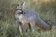 "The grey fox totem signifies ""blessings and magic afoot"".  Creative energy abounds.  Quick wits is also another strength of those who carry Fox as a totem. Need a quick solution? Just ask the Fox.  Clever as a fox?  Why yes, thank you.  ; )"