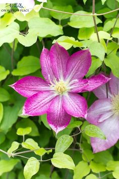 Easy clematis vine g