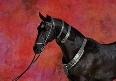 KARABEK (Karar - Polyn') black, born in 2008, line Kaplan. Measurements: 158-163-177-19,0 sm. Owner: Dacor stud, Kazakhstan ©Artur Baboev