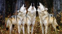 #appeal filed against reinstating #Wolf protections around the #GreatLakes region… #Stand4Wolves #EndtheSlaughter