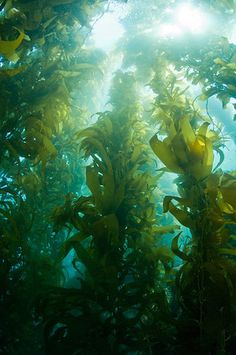 """Another pinner says - """"Kelp: I have always wanted to dive the kelp beds."""""""