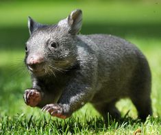 Orphaned baby Wombat, Mocca, has been in the care of Wildlife Victoria since July, after its mother was killed by a car