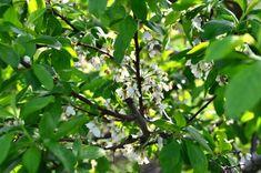 """Învățați în 5 minute cum se formează un """"pom pe sârmă"""" Salvia, Plant Leaves, Gardening, Technology, Terrariums, Agriculture, Green, Plant, Tech"""
