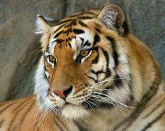#DatoCurioso El #Tigre es una especie amenazada, debido a los altos índices de cacería en Asia, se calcula que en los últimos 14 años se han capturado al menos a 1,500 ejemplares, dato que aunque triste, da un panorama alentador, debido a que se pensaba que sólo existían cerca de 3, 200, por lo que el Fondo Mundial para la Naturaleza (WWF) hizo un llamado a los países en los que hay tigres para realizar censos y así crear programas de protección de esta especie.