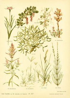 1906 Plantes sauvages gravure ancienne original couleur vintage déco collection édition française Leclerc du Sablon