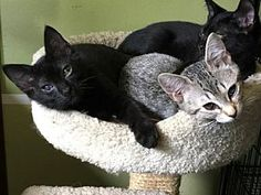 Pictures of JENGA & UNO - Family-friendly pair a Domestic Shorthair for adoption in HILLSBORO, OR who needs a loving home.