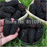 20種子/ パック 、 黒桑種子クワ の nigra ツリー ガーデン ブッシュ種子diy ホーム ガーデン送料無料
