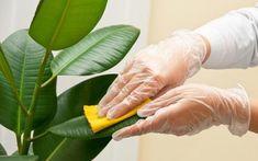 Cele mai bune îngrășăminte pentru plantele de interior - Iată care sunt cele mai eficiente îngrășăminte Ficus Elastica, Rubber Plant Care, Trees To Plant, Plant Leaves, Plantas Indoor, Ficus Tree, Rubber Tree, Ornamental Plants, Ficus