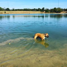 Gorgeous day for swimming at Shelby Farms Dog Park - Memphis, TN - Angus Off-Leash