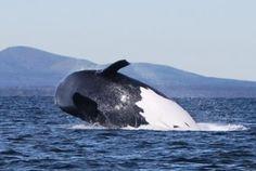 Port Augusta 'Lady Di' breaching. Whale, Wildlife, Animals, Animales, Animaux, Whales, Animal, Animais