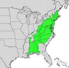 Kalmia latifolia - Wikipedia, the free encyclopedia