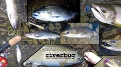 Test fishing salmon from Canada. #fishing #canada #salmon #flyfishing #fly #flytying #riverbug