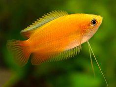Freshwater Aquarium, Aquarium Fish, Aquarium Ideas, South American Cichlids, Fun Personality Quizzes, Fish List, 7 Fishes, Yellow Fish, Golden Honey