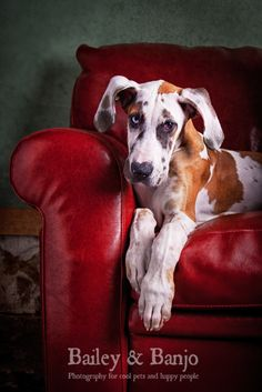 Dane on a couch by Julie Clegg, via 500px