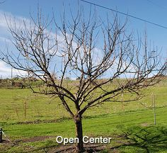 How To Prune An Apple Tree,  Want some apple trees at my house.