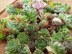 Succulent Gardens is a nice Beautiful drive -San Francisco Bay ARea field trip - and they also sell goodies mail order. I'm putting a batch of these cuttings on my holiday Wish list Assorted Living Picture Cuttings Types Of Succulents, Succulents In Containers, Succulents Garden, Planting Flowers, Succulent Cuttings, Succulent Gifts, Cactus Types, Live Picture, Terrarium Plants