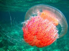 I want a pet jellyfish