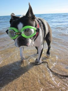 Boston terrier Wendell on vacation-Cape Cod M.A.